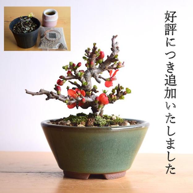 追加【Creema SPRINGS限定】グレードアップ!やす自慢の長寿梅(赤花)と盆栽制作キット